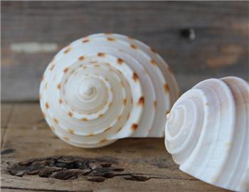 Tonna Tessalata Shell