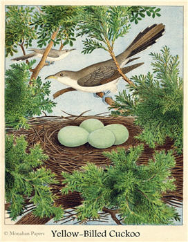 Yellow-Billed Cuckoo - X140