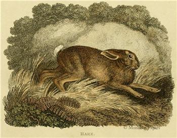 Hare - E6