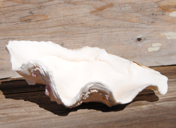 Large Fluted Clam