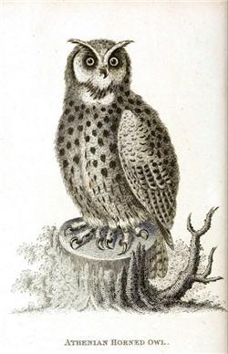 Athenian Horned Owl - H9