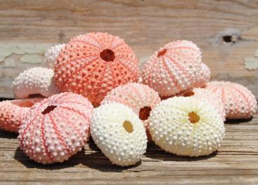 Light Pink/White Sea Urchins