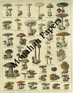 Champignon - Colored-