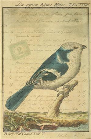 Blaue Meise (Blue Tit)-