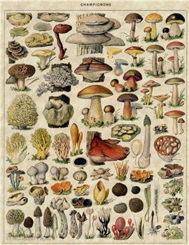 Champignons - Mushrooms - X178