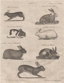 Bunnies (Lepus) - E3