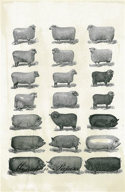 Sheep to Pig - SPS356